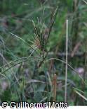 Eustachys distichophylla