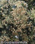 Brachychiton populneus