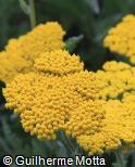 Achillea  ´Coronation Gold´