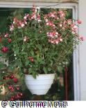 Fuchsia × hybrida ´Nellie Nuttall´