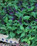 Salvia coerulea ´Purple Majesty´