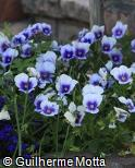 Viola × wittrockiana ´Delta Light Blue Blotch´