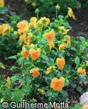 Viola × wittrockiana ´Padpararadja´