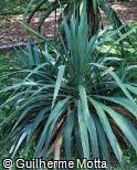 Yucca gloriosa var. recurvifolia