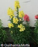 Antirrhinum majus ´Golden Monarch´