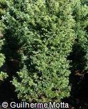 Chamaecyparis pisifera ´Boulevard´