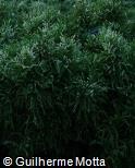 Cryptomeria japonica ´Knaptonensis´