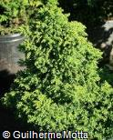 Cryptomeria japonica ´Yokohama´
