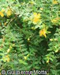 Hypericum calycinum