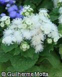 Ageratum houstonianum ´Hawaii White´