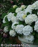 Hydrangea macrophylla ´Madame Emile Mouillère´