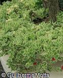 Aptenia cordifolia ´Variegata´