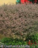 Leptospermum scoparium ´Red Damask´