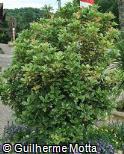 Osmanthus heterophyllus ´Goshiki´