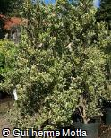 Osmanthus heterophyllus ´Variegatus´