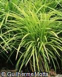Liriope muscari ´Evergreen Giant´