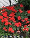 Impatiens walleriana ´Super Elfin Red XP´