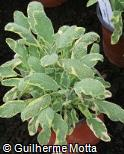 Salvia officinalis ´Aurea´