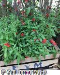 Salvia coccinea ´Forest Fire´