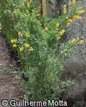 Cytisus grandiflorus