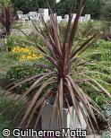 Cordyline australis ´Atropurpurea´