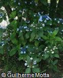 Hydrangea macrophylla ´Blue Wave´