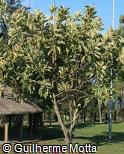 Ficus elastica ´Variegata´