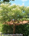 Acacia polyphylla