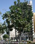Artocarpus camansi