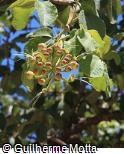 Caryocar coriaceum