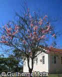 Cassia javanica subsp. nodosa