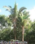 Attalea oleifera