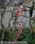 Leptospermum scoparium ´Ruby Glow´