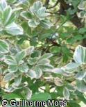 Euonymus japonicus ´Albomarginata´