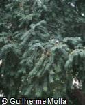 Prumnopitys ferruginea