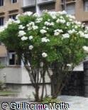 Plumeria pudica