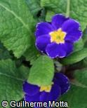 Primula x polyantha ´Crescendo blue shades´