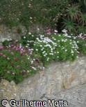 Osteospermum ecklonis ´Saturn´