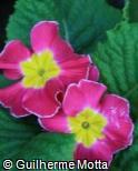 Primula x polyantha ´Crescendo bellarosa´