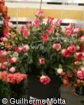 Rosa x grandiflora ´Classic cesanne´