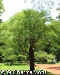 Prosopis chilensis