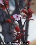 Prunus cerasifera ´Thundercloud´