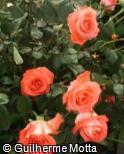 Rosa x grandiflora ´Conchita´