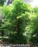 Pterocarya × rehderiana