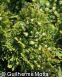 Platycladus orientalis ´Westmont´