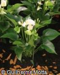 Anthurium andraeanum ´White Champion´