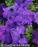 Petunia × hybrida ´Easy Wave Blue´