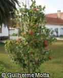 Camellia japonica ´Kramers Beauty´