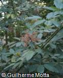 Schefflera venulosa