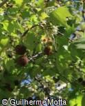 Platanus acerifolia ´Columbia´